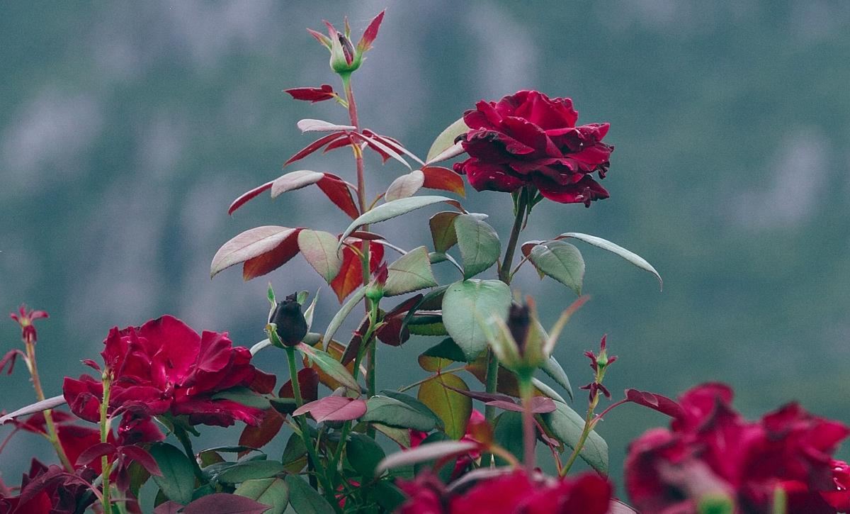 Beneficios del tónico de agua de rosas